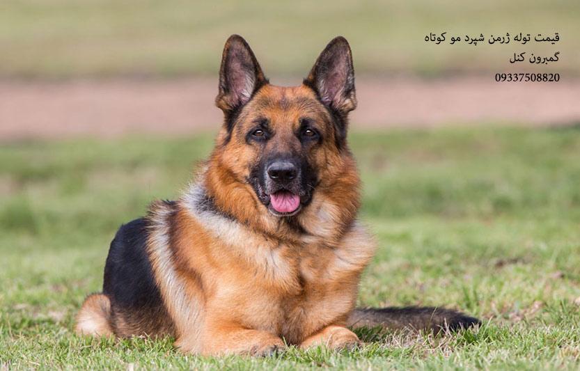 سگ ژرمن شپرد شولاین اصیل