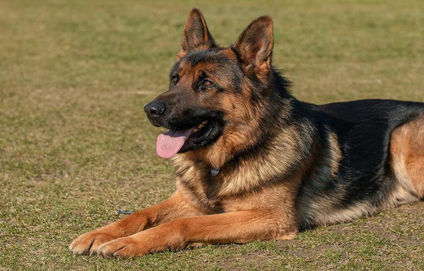 سگ ژرمن ارزان قیمت