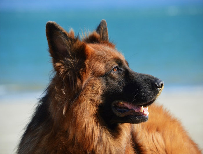 سگ ژرمن شپرد مو بلند