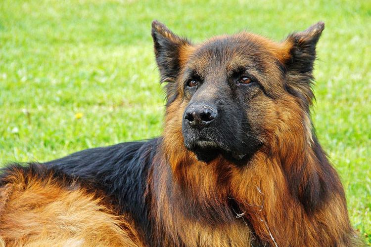 توله سگ گرگی ژرمن